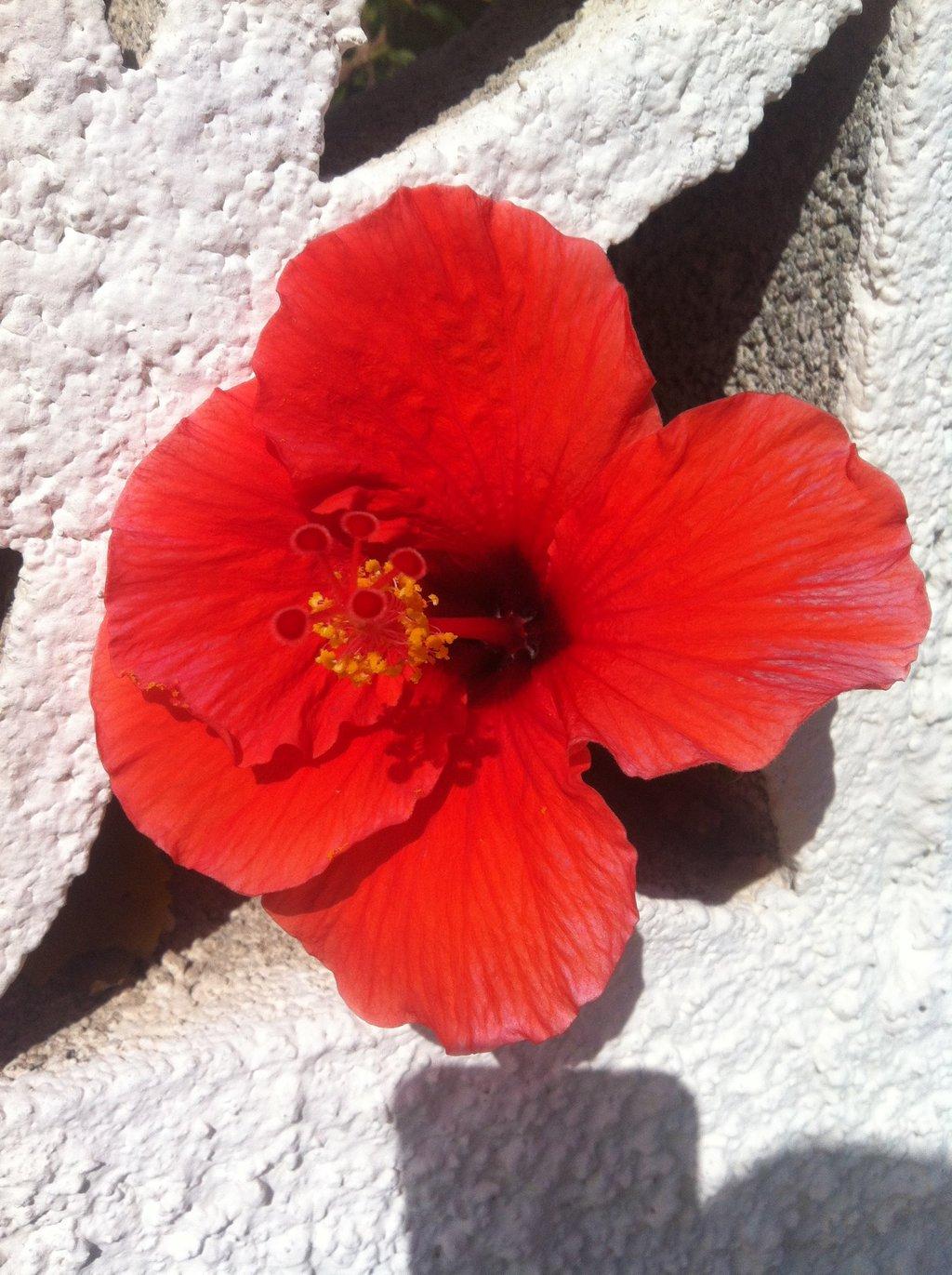 hibiskus-rot