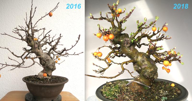 Extrem Zierapfel - Malus evereste - www.bonsai-fachforum.de QT66