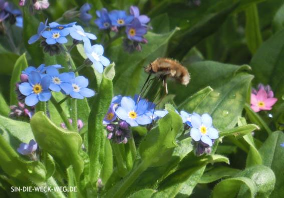 Besuch im Garten: Der Wollschweber