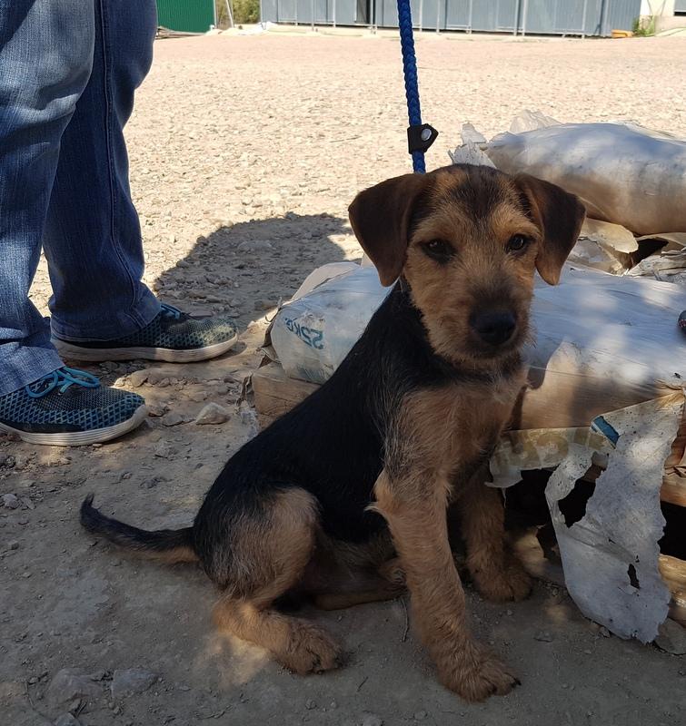 Bildertagebuch - Dale:  kleiner, fröhlicher Welsh? Terrier-Mix-Teenie sucht Familie mit Herz und Unternehmungsgeist - VERMITTELT! 33143235xf