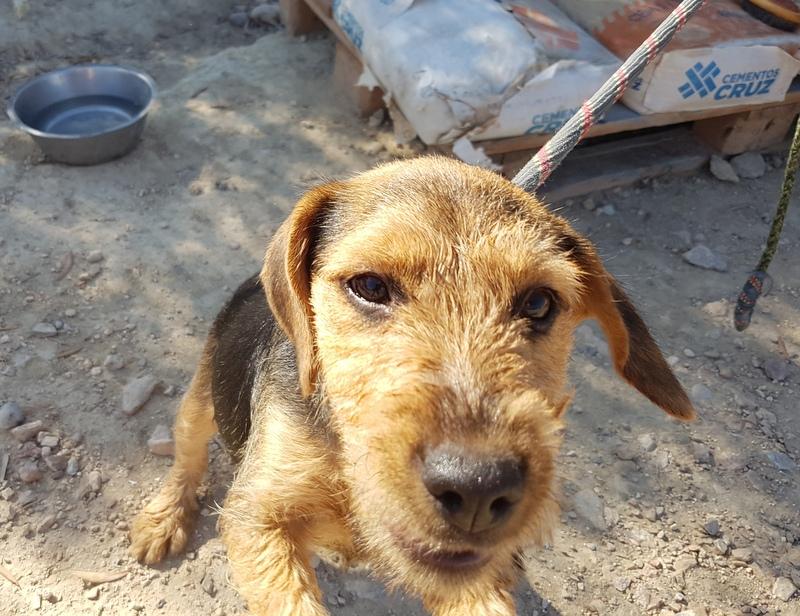 Bildertagebuch - Dale:  kleiner, fröhlicher Welsh? Terrier-Mix-Teenie sucht Familie mit Herz und Unternehmungsgeist - VERMITTELT! 33143236iw