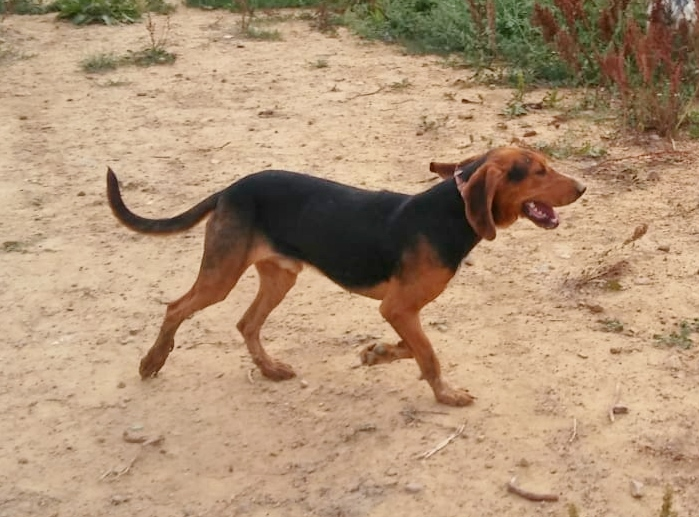 Bildertagebuch - BRUNO II, einer von 150 beschlagnahmten Hunden - VERMITTELT - 33324768tp