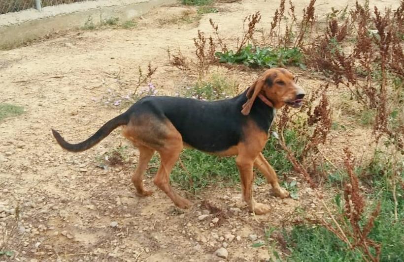Bildertagebuch - BRUNO II, einer von 150 beschlagnahmten Hunden - VERMITTELT - 33324769pa