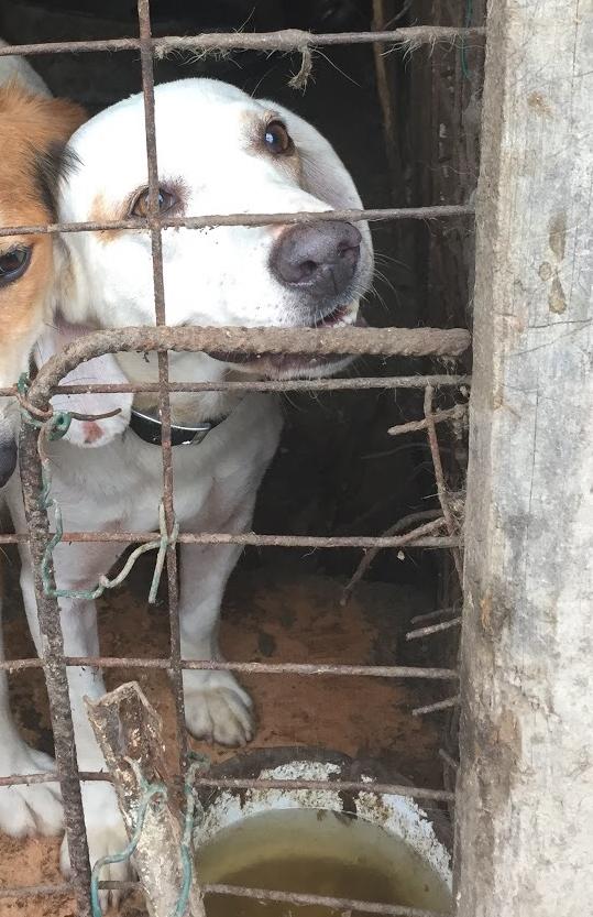 Bildertagebuch - Cuqui hat fast sein ganzes Leben im Hundelager verbracht und ist trotzdem ein freundlicher Hund...VERMITTELT! 33343656sa