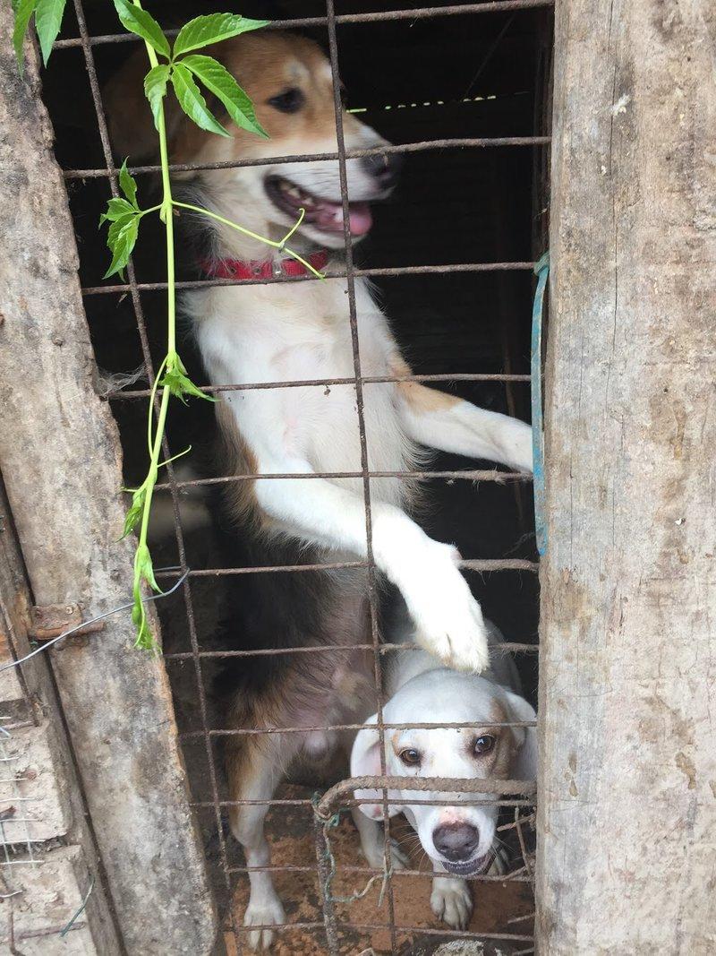 Bildertagebuch - Cuqui hat fast sein ganzes Leben im Hundelager verbracht und ist trotzdem ein freundlicher Hund...VERMITTELT! 33343661zu