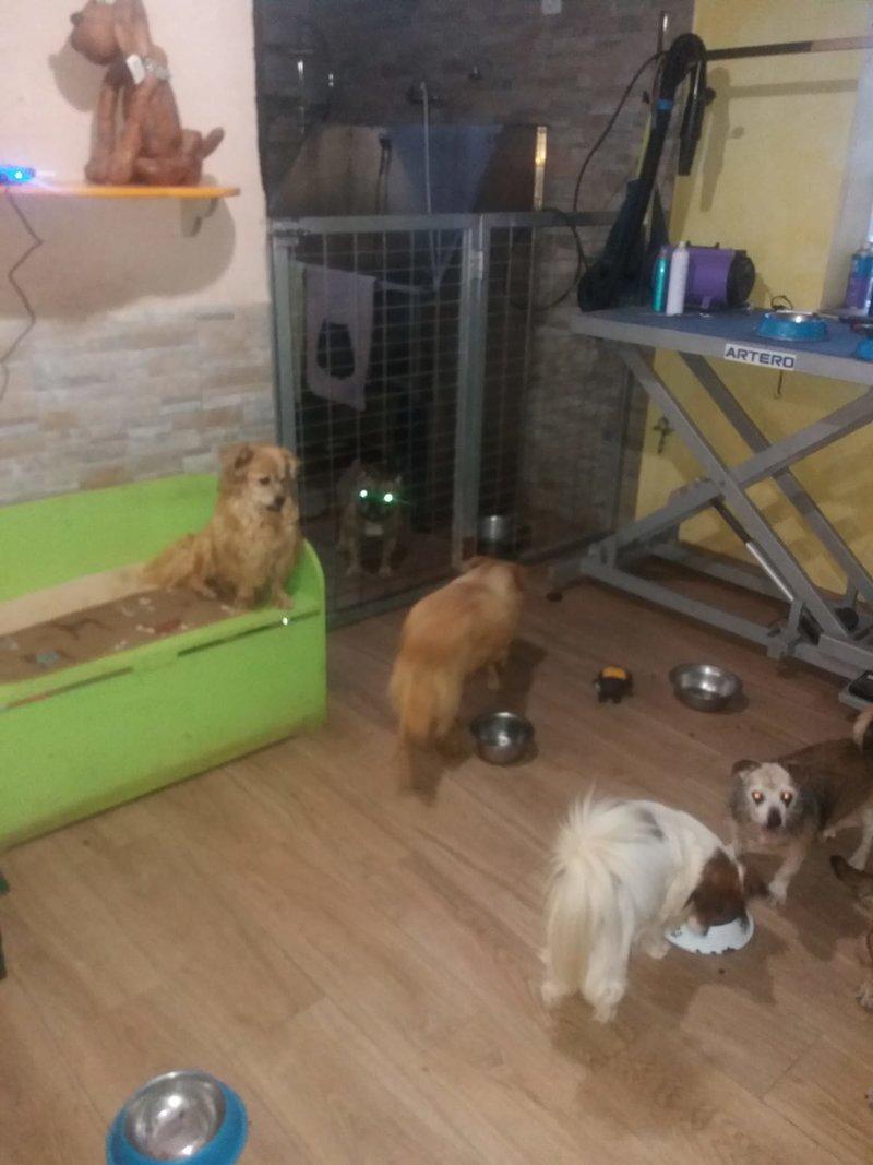 Bildertagebuch - Canela und Canelo...zwei kleine Hundeschätzchen suchen Päppelplatz...VERMITTELT! 33345352vo