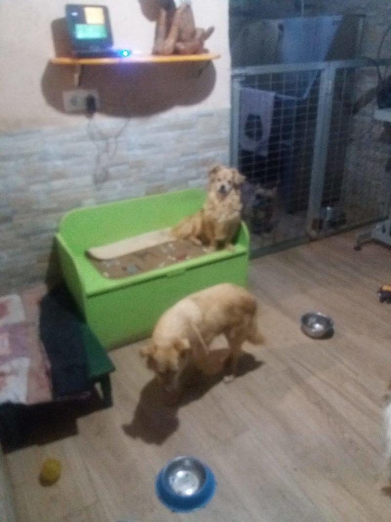 Bildertagebuch - Canela und Canelo...zwei kleine Hundeschätzchen suchen Päppelplatz...VERMITTELT! 33345357iu