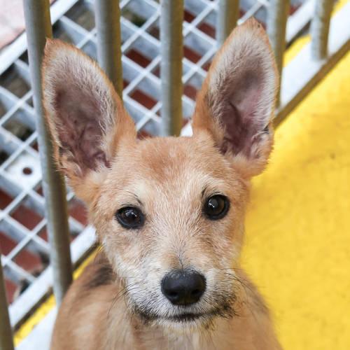 Bildertagebuch - Coyote: kleiner Kerl mit zauberhaften Ohren und Zauselbärtchen sucht dringend sein Zuhause! VERMITTELT! 33519731gn