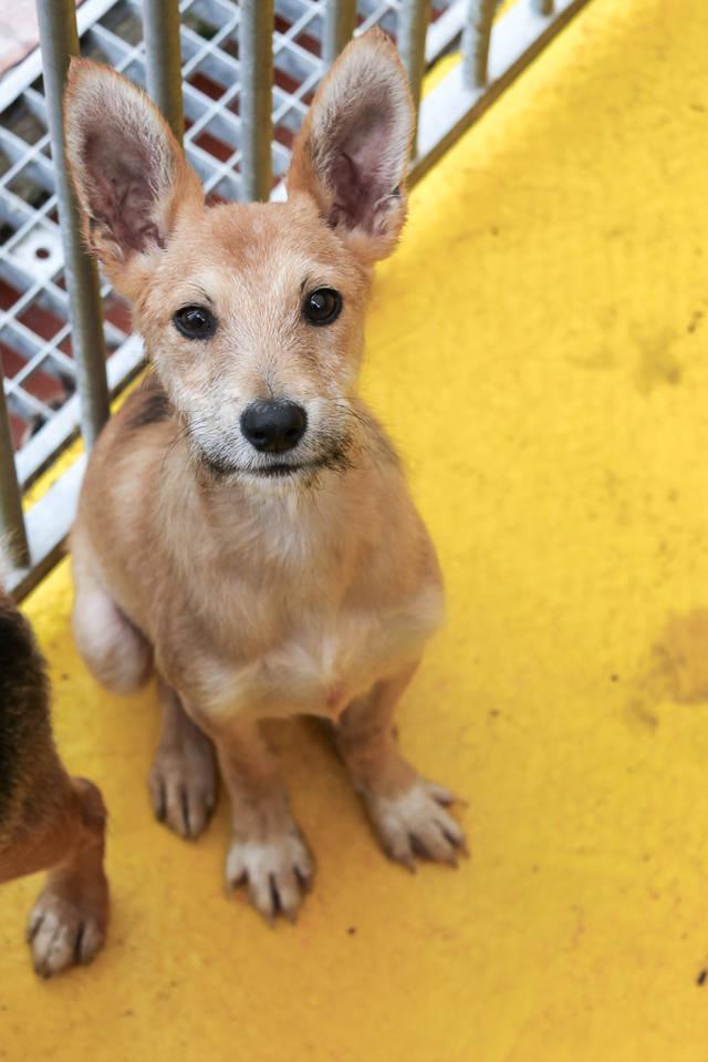 Bildertagebuch - Coyote: kleiner Kerl mit zauberhaften Ohren und Zauselbärtchen sucht dringend sein Zuhause! VERMITTELT! 33519732tq