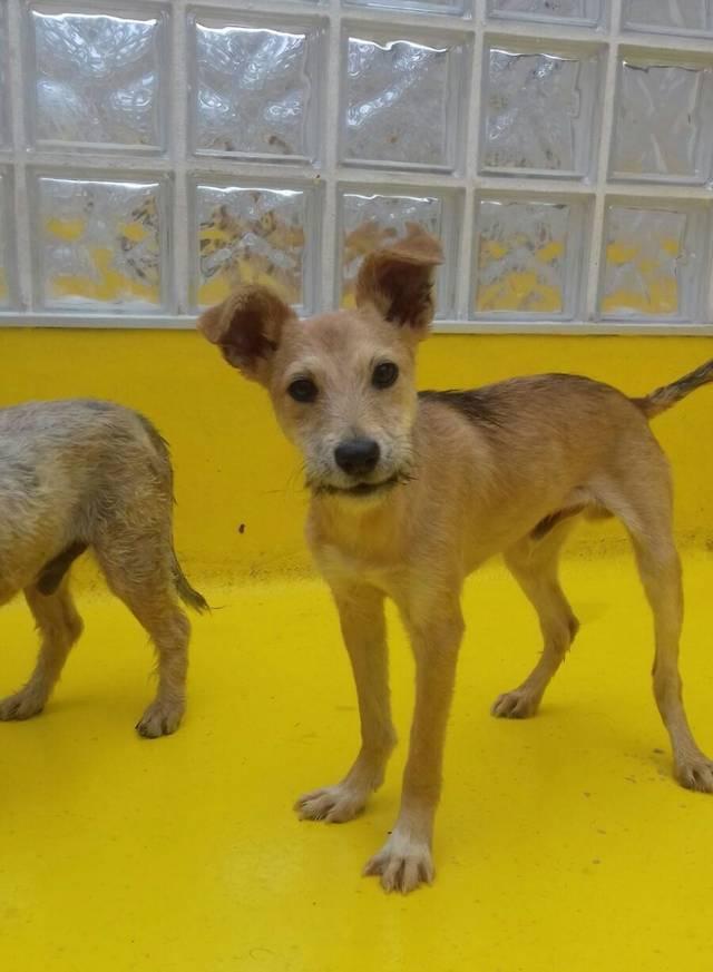 Bildertagebuch - Coyote: kleiner Kerl mit zauberhaften Ohren und Zauselbärtchen sucht dringend sein Zuhause! VERMITTELT! 33519733xk