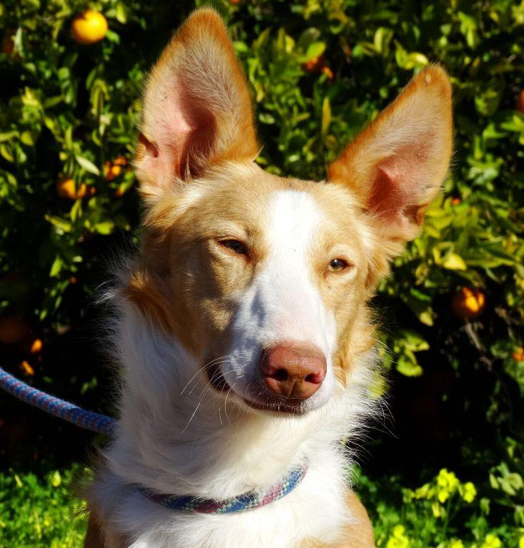 Bildertagebuch - TRECE, ein Traumhund - VERMITTELT - 33591732vl