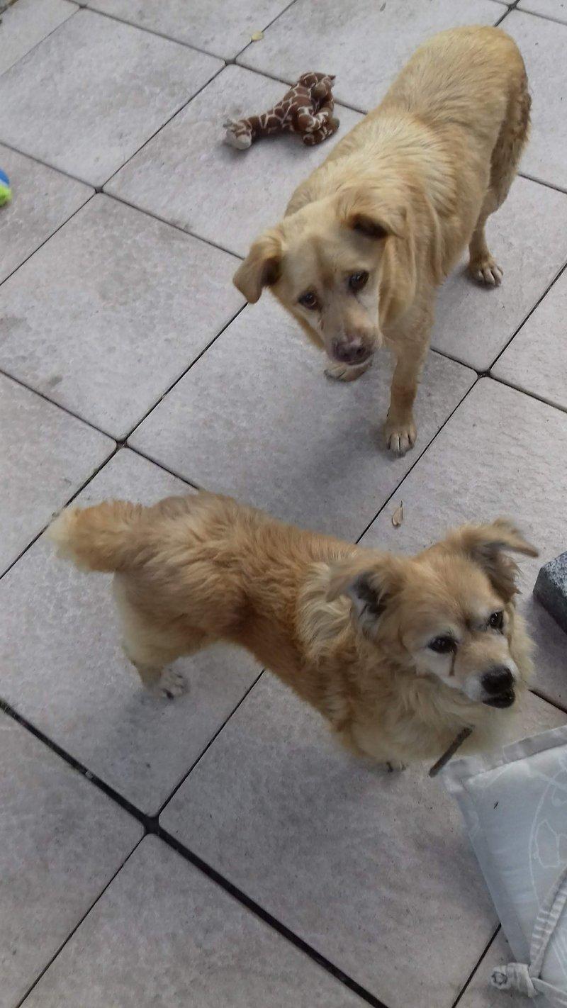 Bildertagebuch - Canela und Canelo...zwei kleine Hundeschätzchen suchen Päppelplatz...VERMITTELT! 33895392el