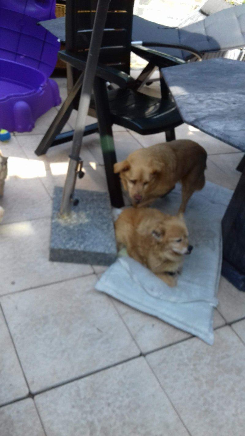 Bildertagebuch - Canela und Canelo...zwei kleine Hundeschätzchen suchen Päppelplatz...VERMITTELT! 33895393ye