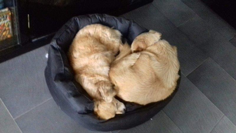 Bildertagebuch - Canela und Canelo...zwei kleine Hundeschätzchen suchen Päppelplatz...VERMITTELT! 33895395jm