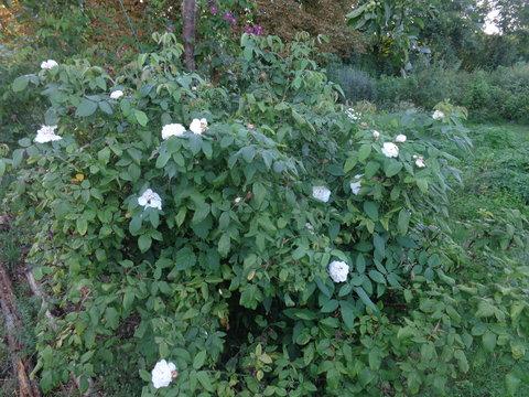 Klettergerüst Rosen : Historische rosen page mein schöner garten forum