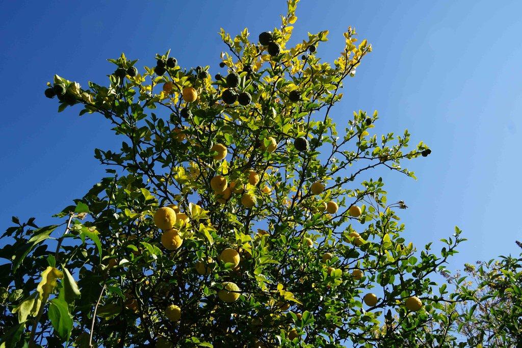Citrus - alles über Orangen, Zitronen, Limetten, Kumquats: Aussaat, Stecklinge u.v.m. - Seite 6 34074269el