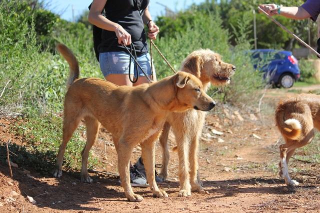 Bildertagebuch - Agora, ein ehemaliger Straßenhund sucht ihr Zuhause - VERMITTELT! 34148702lf