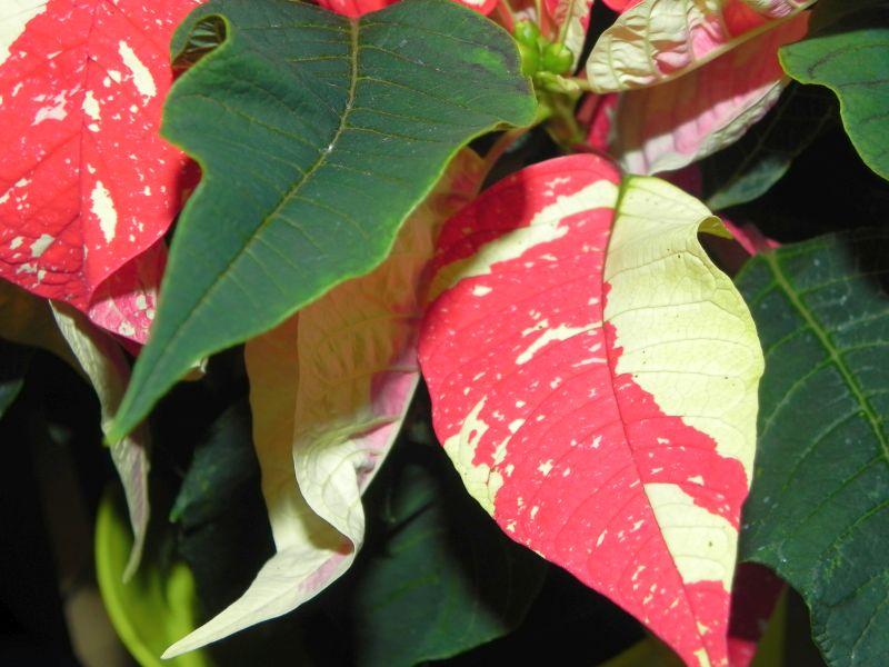 Wolfsmilchgewächse (Euphorbiaceae) - alle Nichtsukkulenten - Seite 2 34280307lj