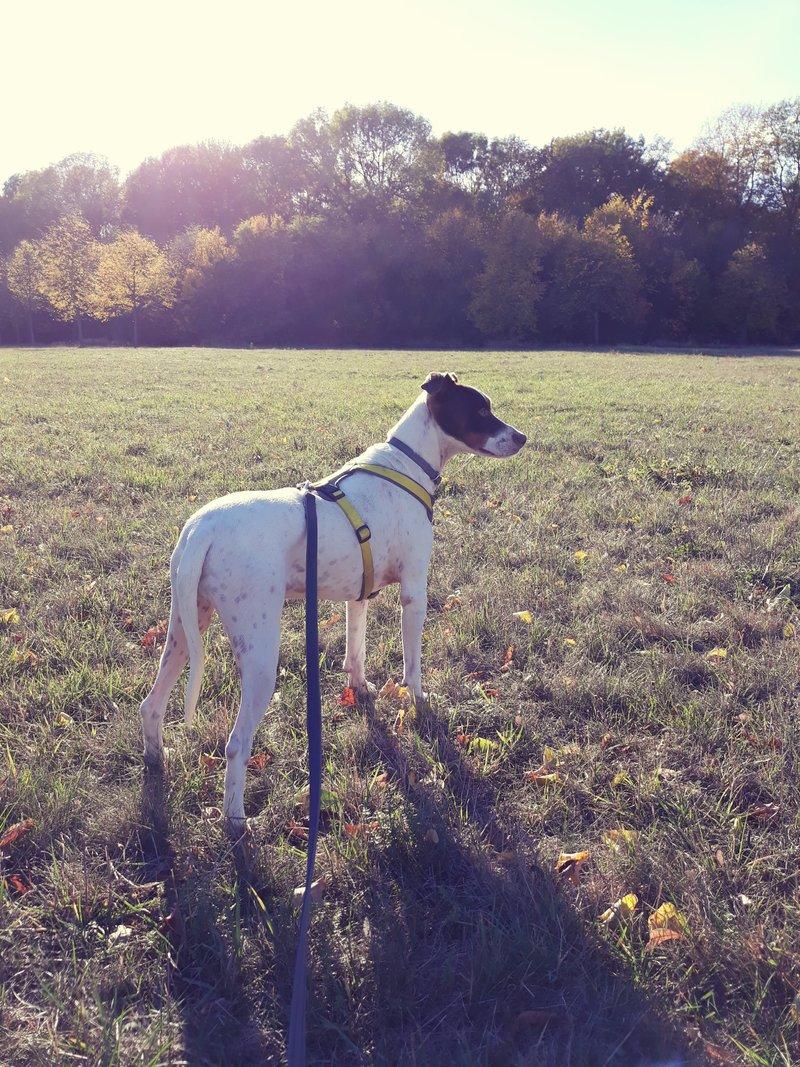 Bildertagebuch  - Kylo: ein bildschöner, eleganter, und cleverer Hund für aktive Menschen! - VERMITTELT- 34287372mm