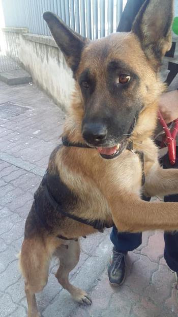 Bildertagebuch - Sonya, Schäferhunddame sucht erfahrene Rassekenner! 34432796yt