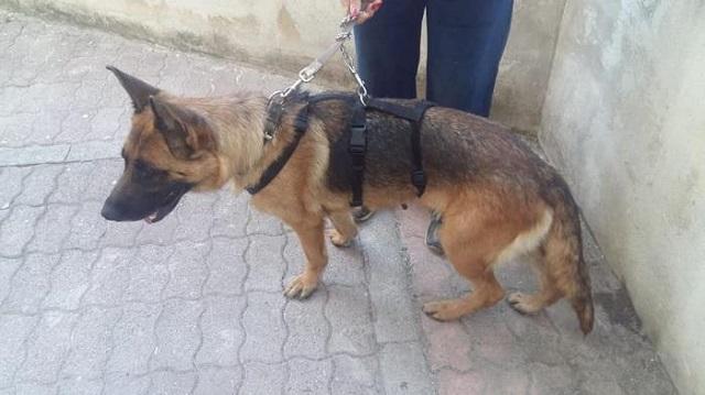 Bildertagebuch - Sonya, Schäferhunddame sucht erfahrene Rassekenner! 34432797zc