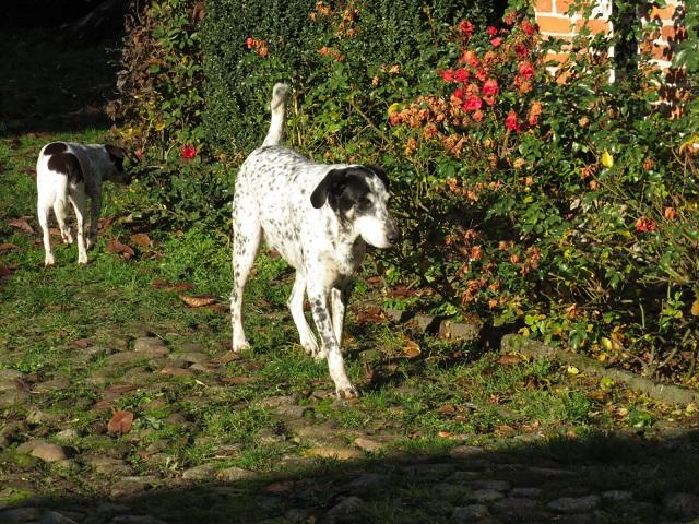 dino - Bildertagebuch - DINO, verträglicher Rüde mit liebevollem Wesen 34478167ji