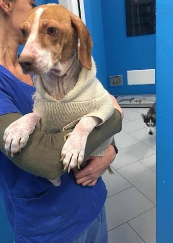 Bildertagebuch - Dakota, eine kleine Maus irrte schwer verletzt auf den Straßen von Neapel umher mit höllische Schmerzen -VERMITTELT - 34826249ig
