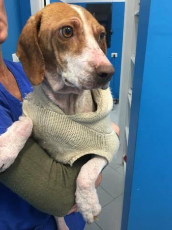 Bildertagebuch - Dakota, eine kleine Maus irrte schwer verletzt auf den Straßen von Neapel umher mit höllische Schmerzen -VERMITTELT - 34826253tq