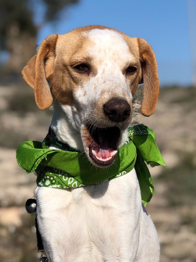 Bildertagebuch - Ringo: Ein besonders entzückender Junghund mit ganz viel Charme!- VERMITTELT - 34974662zo