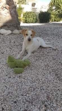 Bildertagebuch - Ringo: Ein besonders entzückender Junghund mit ganz viel Charme!- VERMITTELT - 35210960aa