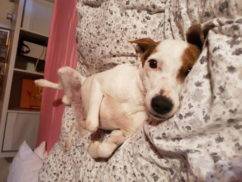 Bildertagebuch - Joy (Liesl), eine ganz bezauberne kleine Ratonera sucht dringend ihr Zuhause! - VERMITTELT- 35213613en