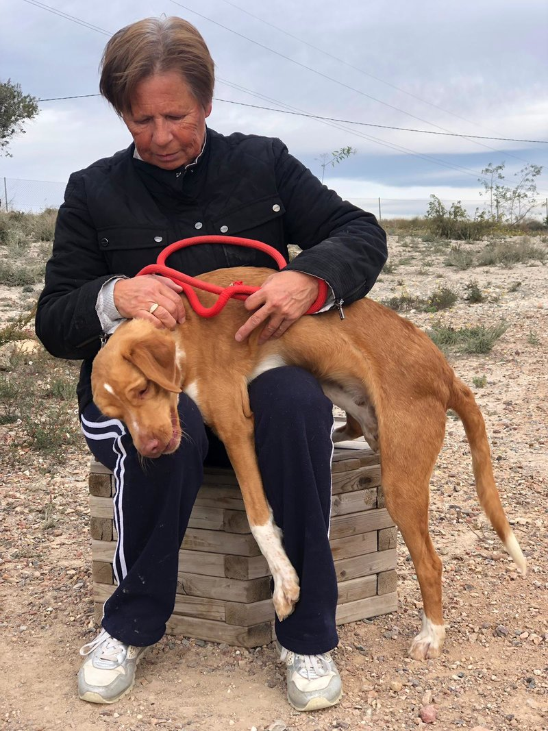 Bildertagebuch  - Troy: ein bildschöner, eleganter, und cleverer Hund für aktive Menschen! - VERMITTELT- 35234050rk