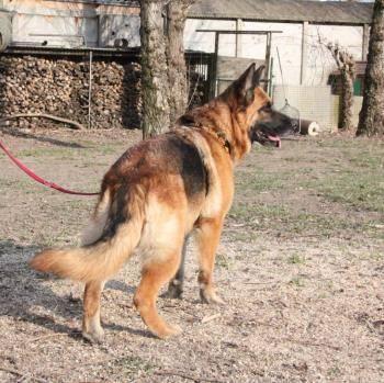 Bildertagebuch - Sonya, Schäferhunddame sucht erfahrene Rassekenner! 35472489bs