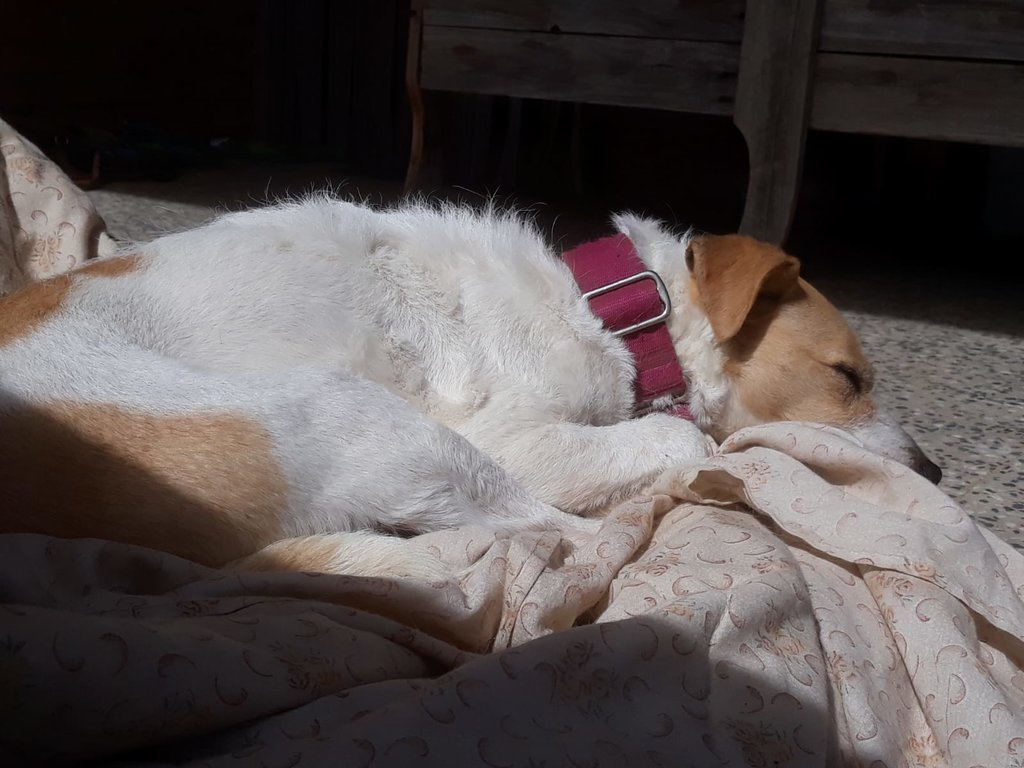 Bildertagebuch - TXURI, kleine Terrierpersönlichkeit - VERMITTELT - 35741424qp