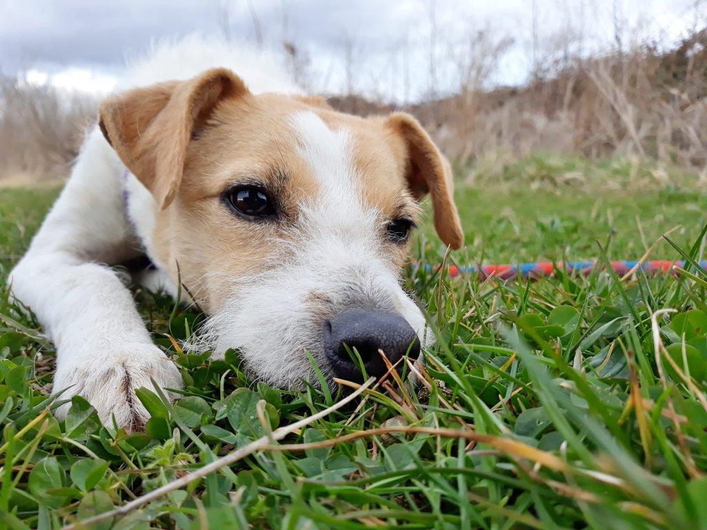 Bildertagebuch - TXURI, kleine Terrierpersönlichkeit - VERMITTELT - 35741428xx