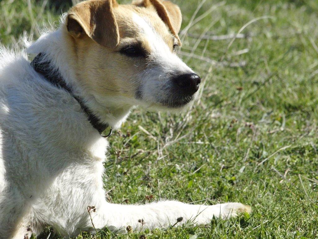 Bildertagebuch - TXURI, kleine Terrierpersönlichkeit - VERMITTELT - 35741429jx