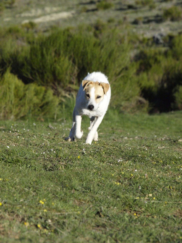 Bildertagebuch - TXURI, kleine Terrierpersönlichkeit - VERMITTELT - 35741431uf