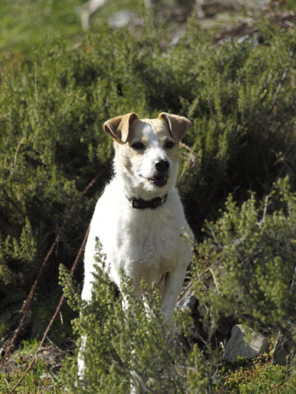 Bildertagebuch - TXURI, kleine Terrierpersönlichkeit - VERMITTELT - 35741433ei