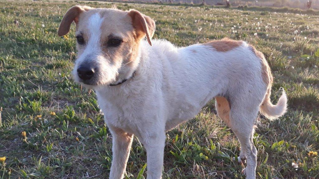 Bildertagebuch - TXURI, kleine Terrierpersönlichkeit - VERMITTELT - 35741434jx