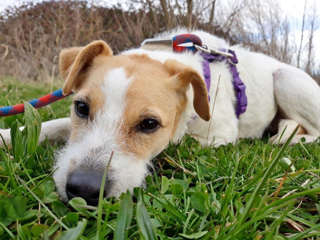 Bildertagebuch - TXURI, kleine Terrierpersönlichkeit - VERMITTELT - 35741440eh