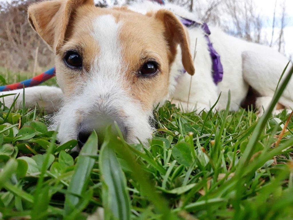 Bildertagebuch - TXURI, kleine Terrierpersönlichkeit - VERMITTELT - 35741441ub
