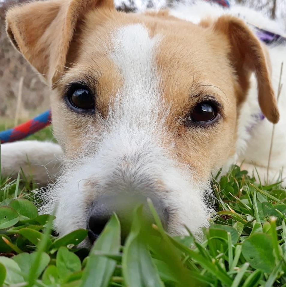 Bildertagebuch - TXURI, kleine Terrierpersönlichkeit - VERMITTELT - 35741442bb