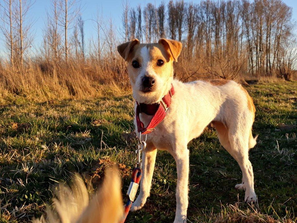 Bildertagebuch - TXURI, kleine Terrierpersönlichkeit - VERMITTELT - 35741443fj