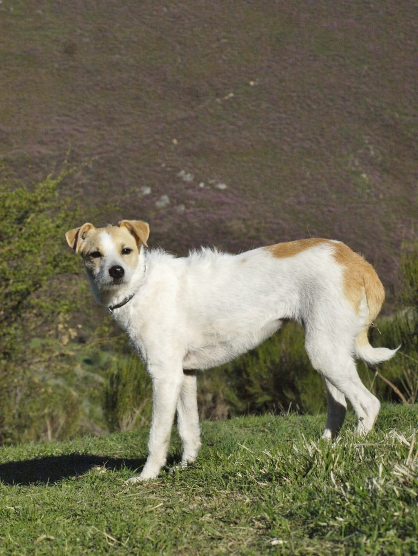 Bildertagebuch - TXURI, kleine Terrierpersönlichkeit - VERMITTELT - 35741448hx