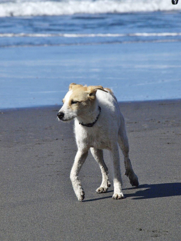 Bildertagebuch - TXURI, kleine Terrierpersönlichkeit - VERMITTELT - 35741449so