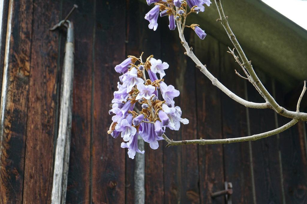 Blauglockenbaum - Paulownia tomentosa - Seite 2 35801319ei