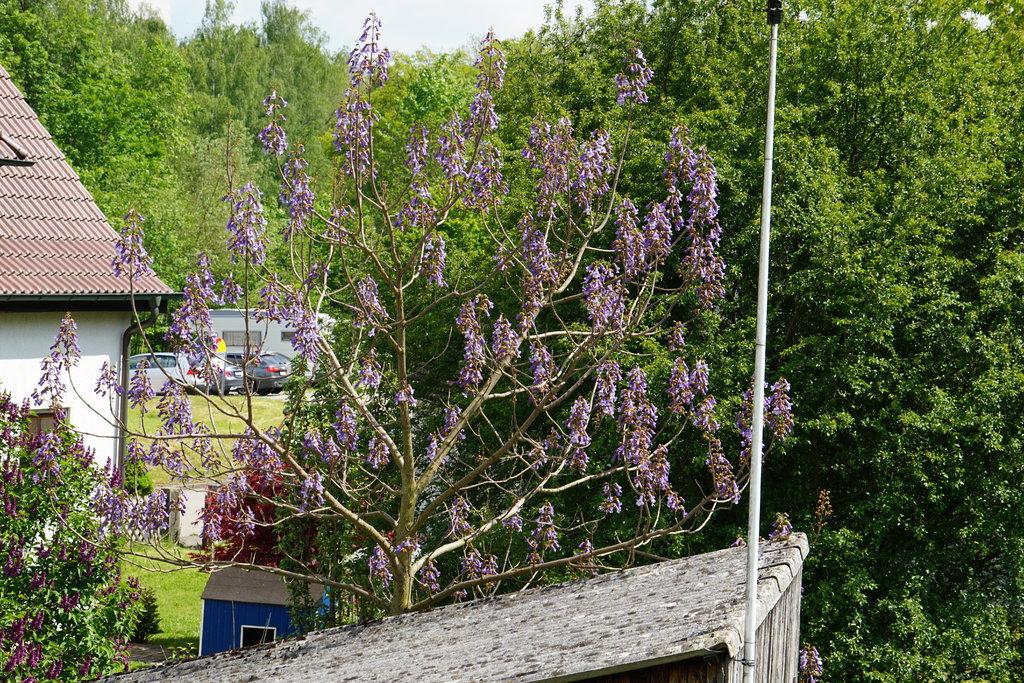 Blauglockenbaum - Paulownia tomentosa - Seite 2 35801322oj