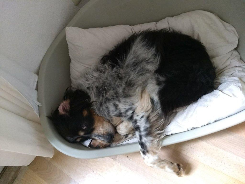 Bildertagebuch - Myra sucht wieder ein Sofa und Menschen zum kuscheln - VERMITTELT - 35803730cv
