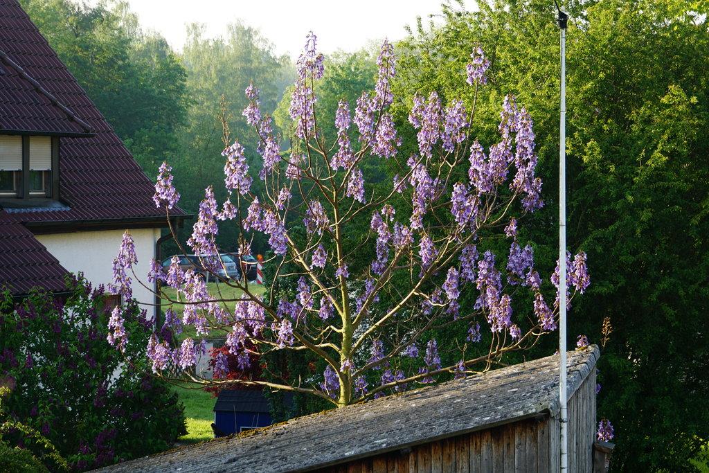 Blauglockenbaum - Paulownia tomentosa - Seite 2 35822322oc