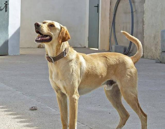 Bildertagebuch - BUSTER, ein Traumhund wurde streunend aufgefunden - VERMITTELT - 36184170tg